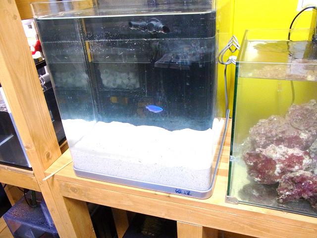 海道システムにテストフィッシュとしてルリスズメ(コバルトスズメ)が1匹泳いでいました!