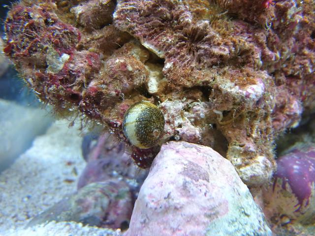 石灰藻を食べる海洋性カノコガイ