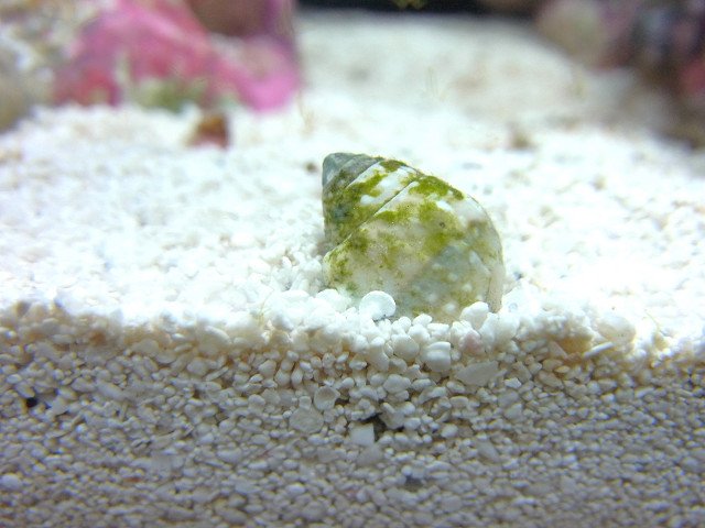 砂に潜るアツムシロガイ