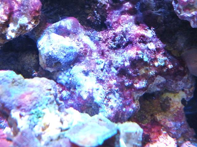 海水水槽のシアノバクテリア