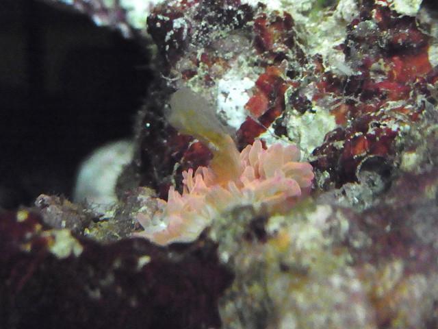 褐虫藻や茶色いものを吐き出すイソギンチャク
