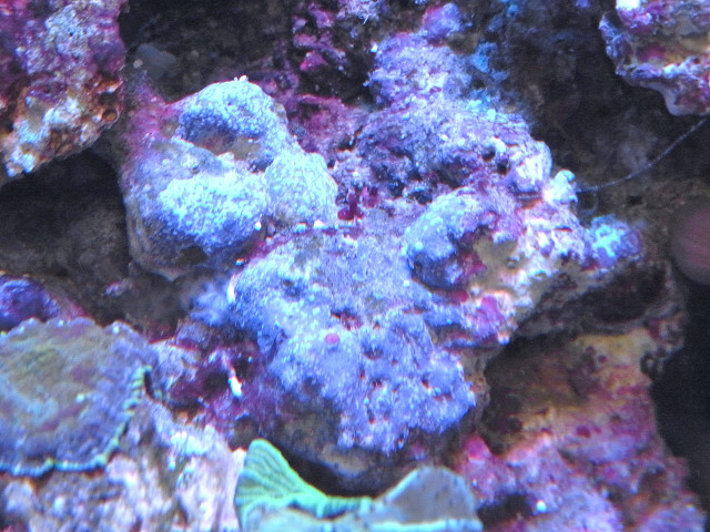 シアノバクテリア