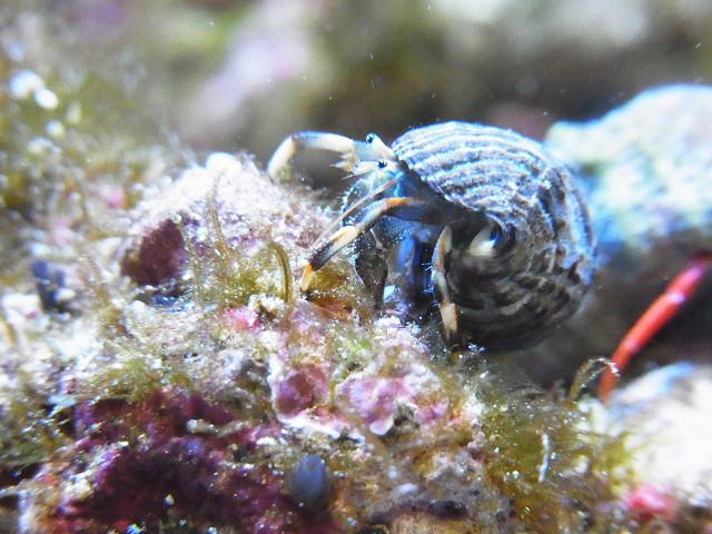 藻類を食べるマダラヨコバサミ