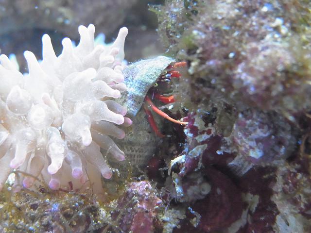 藻類を食べるレッドレッグハーミットクラブ(スカーレットリーフハーミットクラブ)