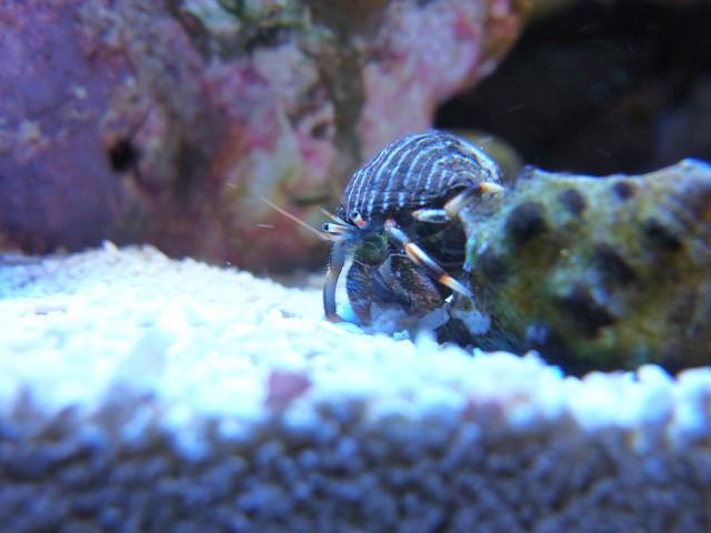 引っ越し用の貝殻を探すマダラヨコバサミ