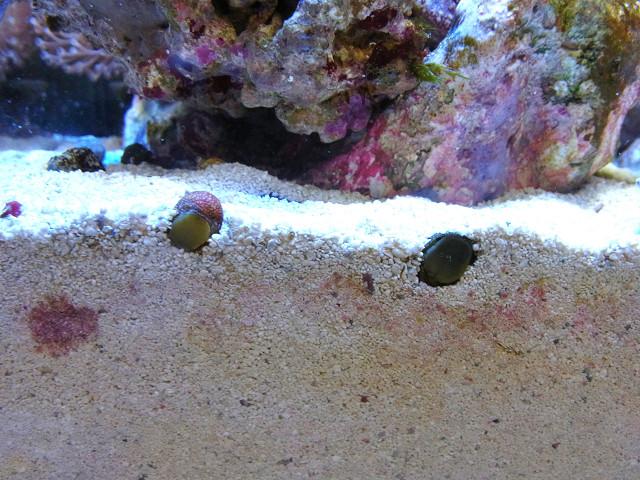 砂に潜るカノコガイ