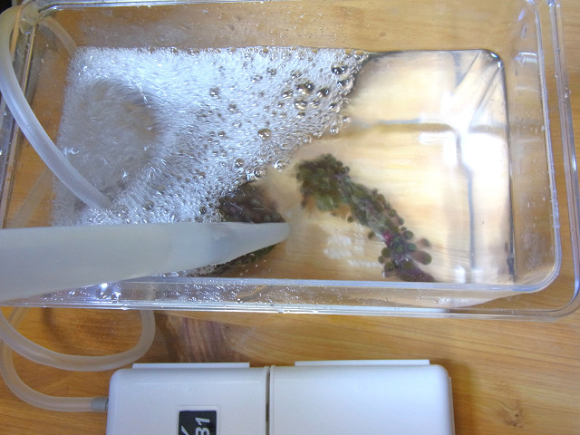 マメスナギンチャクをリバイブコーラルクリーナーで薬浴