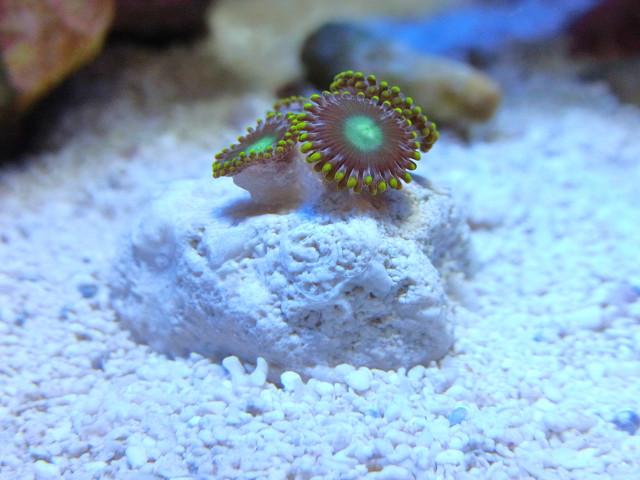 サンゴ用固定ジェル(Coral Glue)で接着したマメスナ